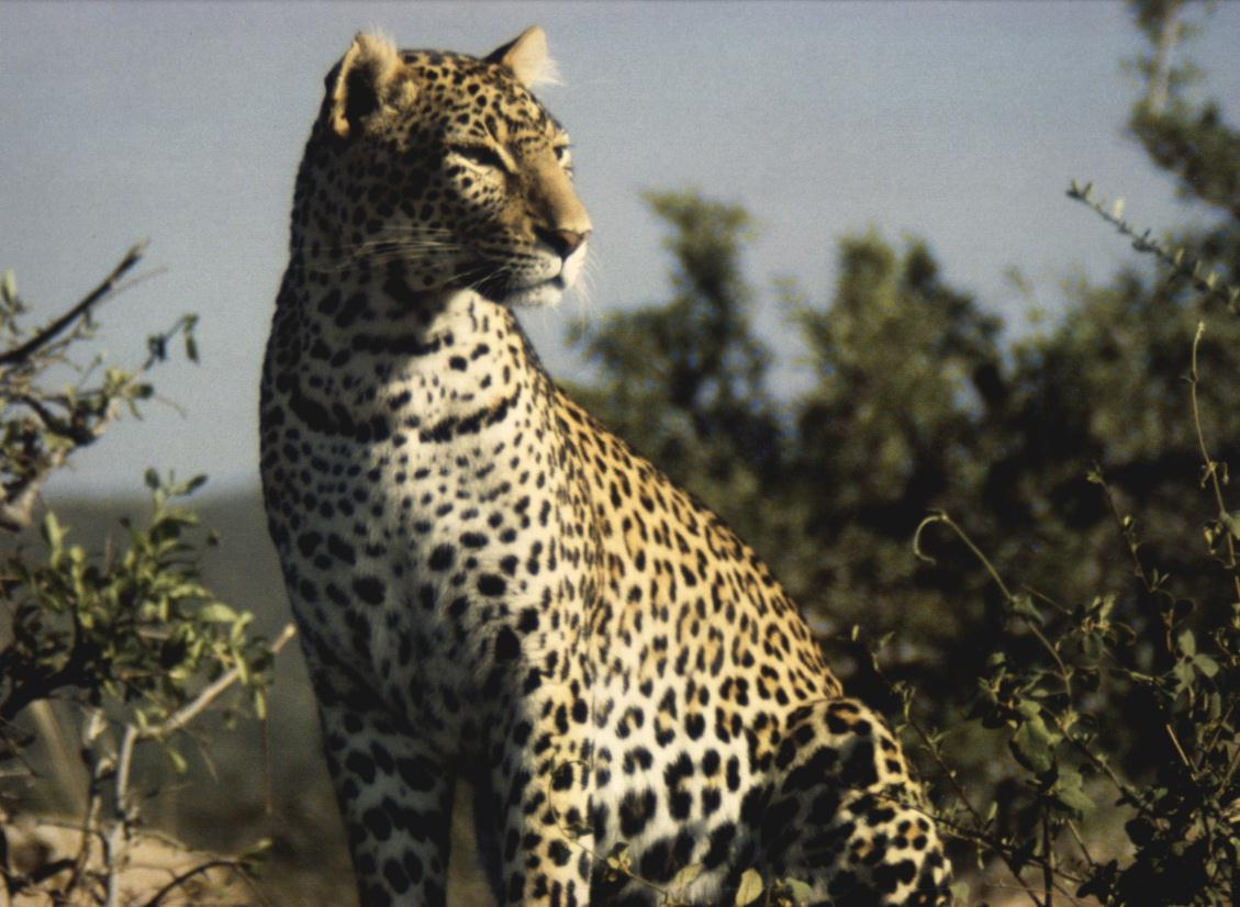 leopard-sittinginbush.jpg